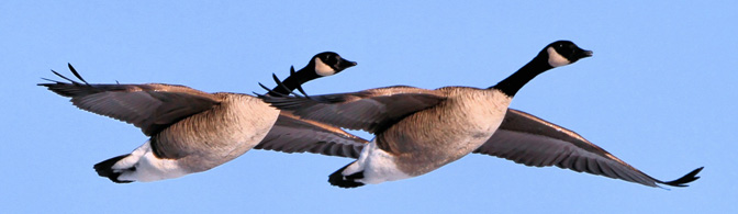 Building a Collaborative Community: Lessons from Geese